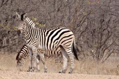 zebra#(20141104)a