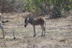 zebra#(20141105)