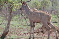 antilope#06
