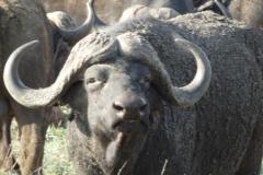 buffel#(20141106)a