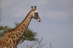 giraffe#(20141106)a