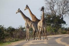 giraffe#(20141106)b