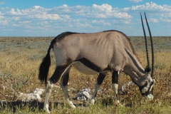 antilope#11