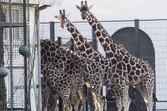 giraffe#(20191120)b