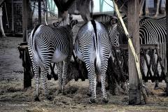 zebra#04