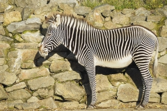 zebra#05