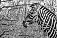 zebra#(20141104)zw