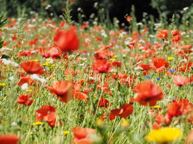 veld wilde bloemen